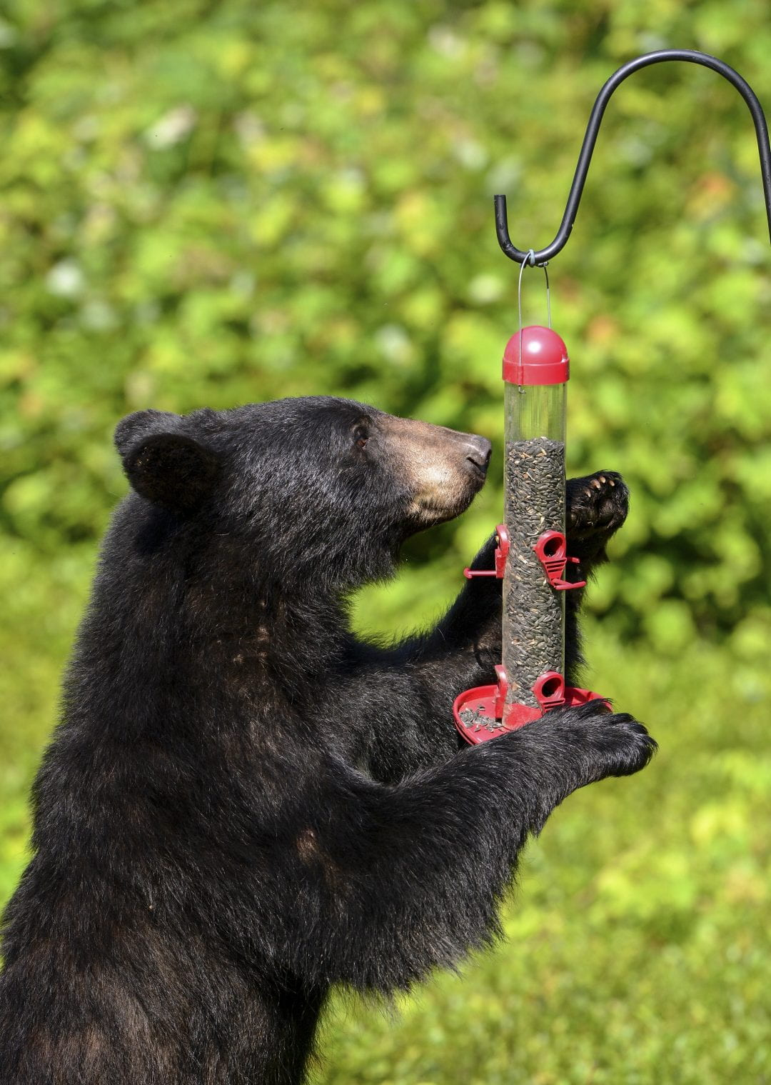 bear eating bird food
