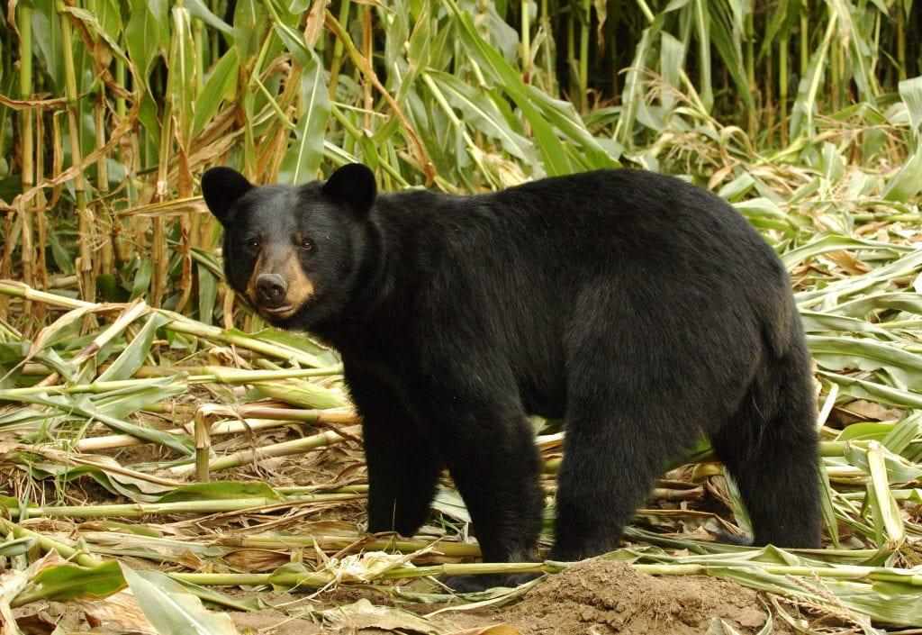 Black bear in a corn field