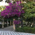 Courtyard with vibrant purple bougainvillea bush