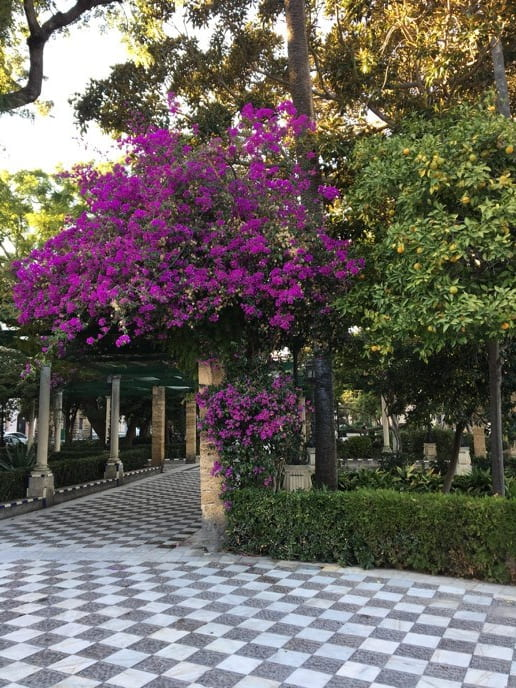 Courtyard with vibrant purple bougainvillea bush