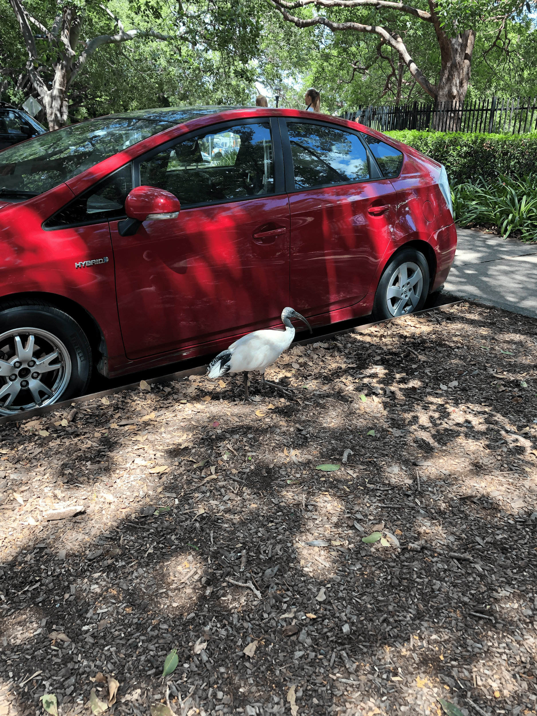 Large white Ibis bird standing in front of red car