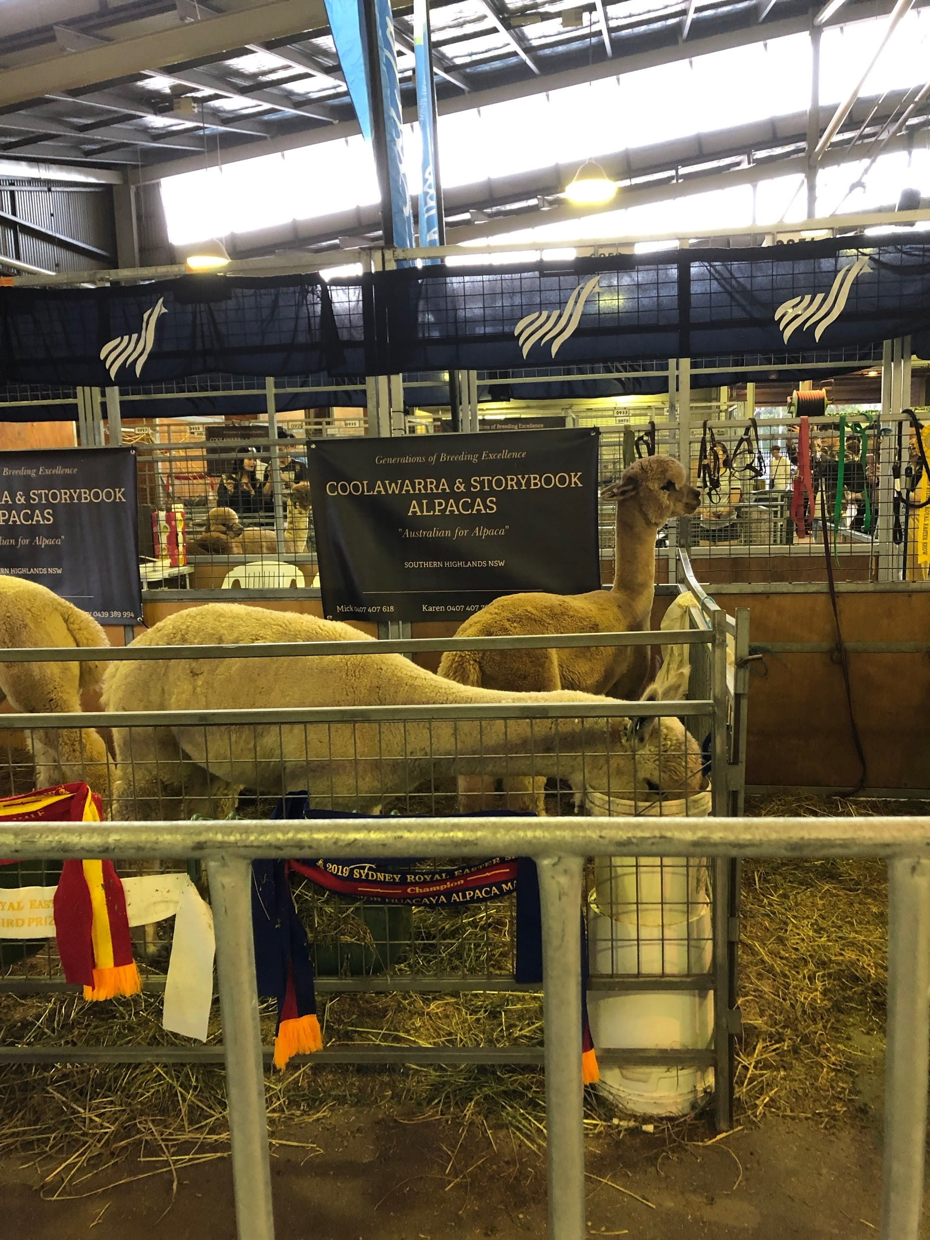 Alpacas behind fence in exhibition hall