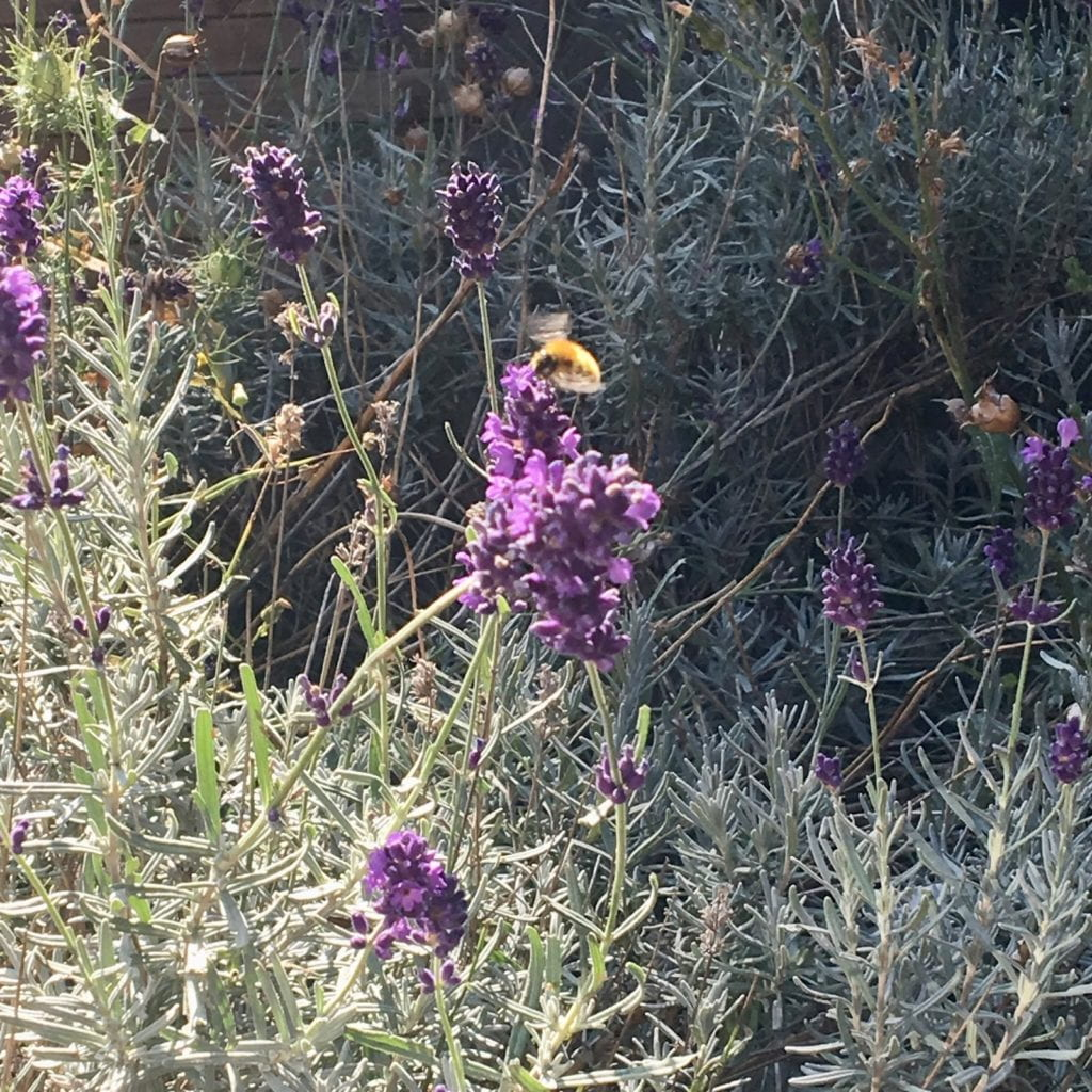 A bumblebee landing in a field of lavender