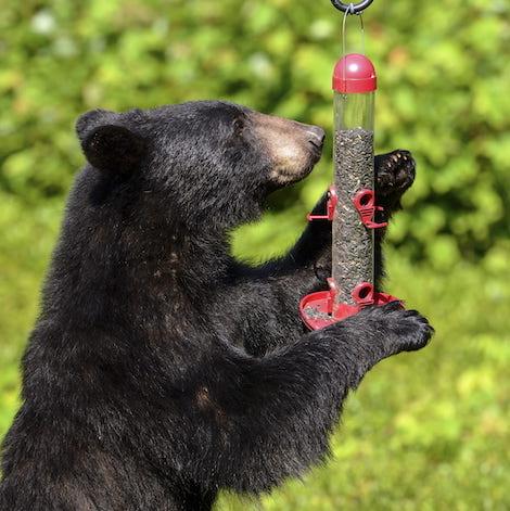 mass bears