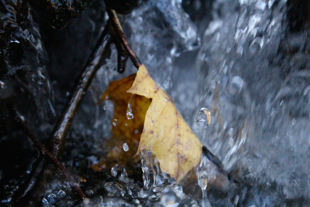 Autumn maple leaf hanging off a twig in cool rushing water