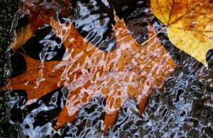 Autumn oak leaf in running water