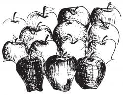 Drawing of multiple apples, in varying shades of grey to indicate different kinds