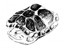 Drawing of a turtle fully pulled into its shell