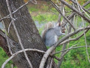 Lehigh Squirrel chomping on a nut in a tree.