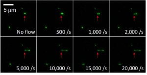 Shear-dependent elongation for a single tethered vWF multimer observed under increasing shear by experimental fluorescence microscopy.