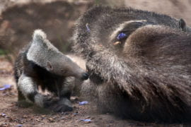 New born giant anteater plays while mom rests