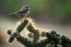 An elusive cactus wren perches atop a cactus