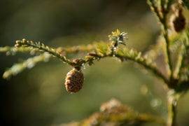 Small Redwood cone hanging from a branch