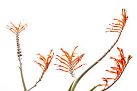 The greater cobra lily (Chasmanthe floribunda)