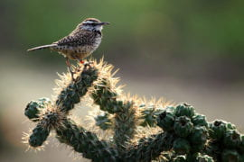 Cactus restoration program is for the birds