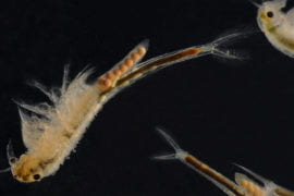 Vernal pool fairy shrimp