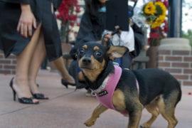 Maeby the Chihuahua
