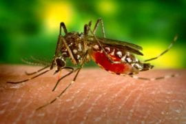 Infected female Aedes aegypti mosquitoe