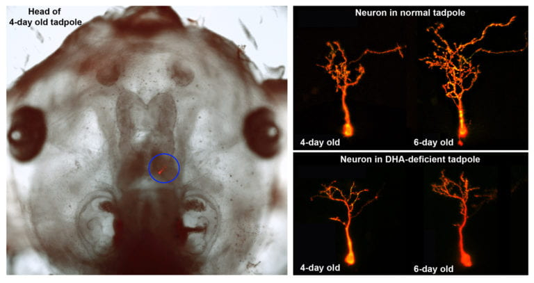 Brain development suffers from lack of fish oil fatty acids, UCI study finds