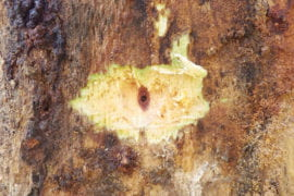 Stained wood from shot hole borer fungal infection on Mexican sycamore.