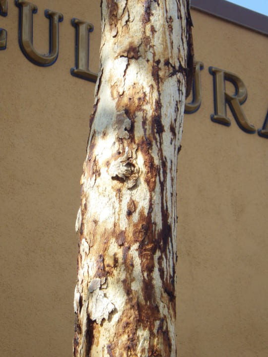 Heavy staining on a Mexican sycamore on the UCI campus.