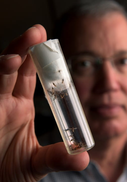 """This is a significant step,"" says Distinguished Professor Anthony James, holding up a vial of genetically modified mosquitoes. ""This method allows us to efficiently create large populations of mosquitoes unable to transmit malaria.""  Steve Zylius / UCI"