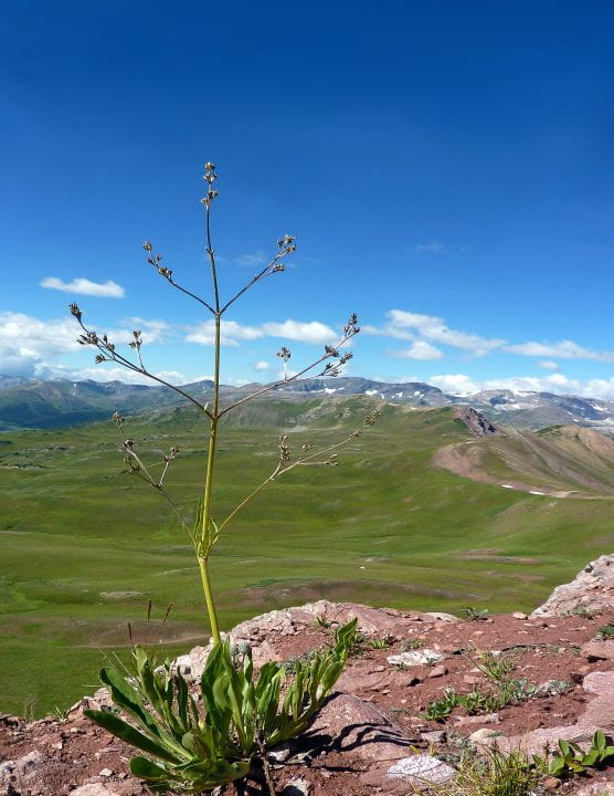 A female valerian plant stands sentry high in the Colorado Rocky Mountains.  Will Petry / UCI