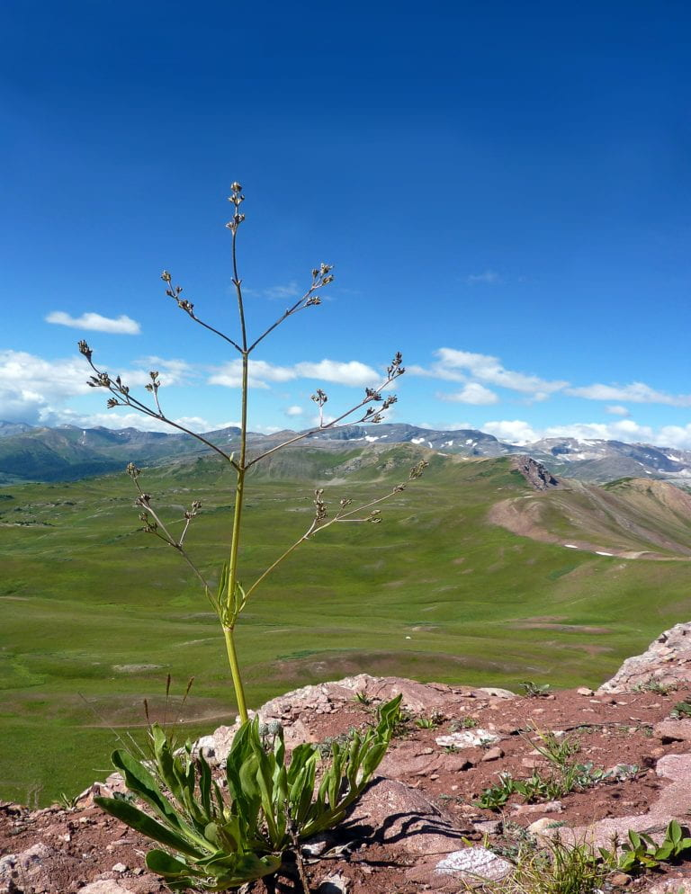 Climate change's effect on Rocky Mountain plant is driven by sex