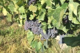 UCI-led genomic study reveals clues to wild past of grapes