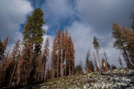 UCI, UC Merced: California forest die-off caused by depletion of deep-soil water