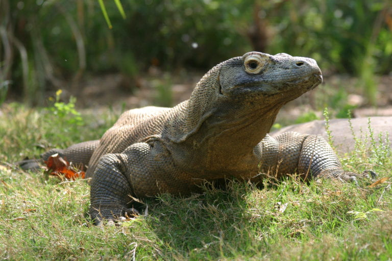 UCI biologist part of team to sequence of the Komodo dragon genome