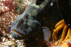 Veggie-loving fish could be the new white meat