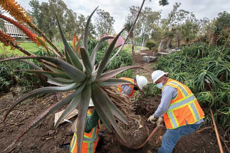 Workers carefully transplant a Uitenhage aloe,