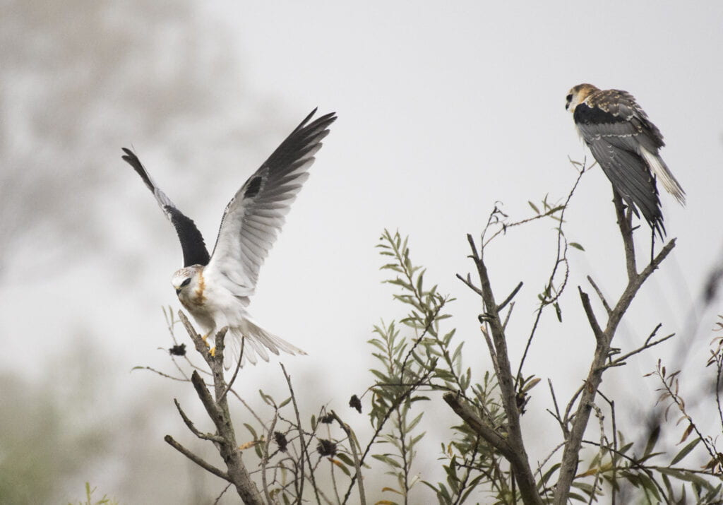 While-tailed kits birds sitting on plant branches.