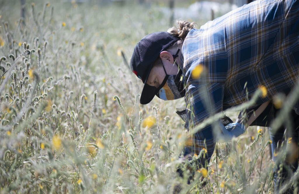 Bri Finley, who's leading the two-year experiment, works to retrieve a packet from the plant roots and stems that have grown up around it.