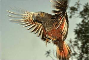 Kaka Parrot