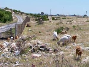 Animals Grazing on Khayelitsha Site