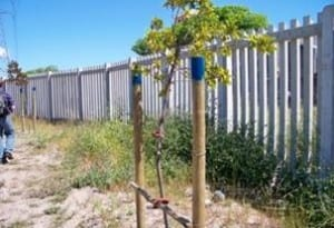Ficus natalensis trees planted at Langa Initiation Site