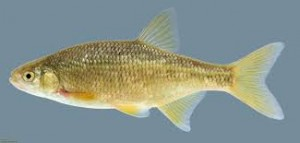 baitfish - shiner