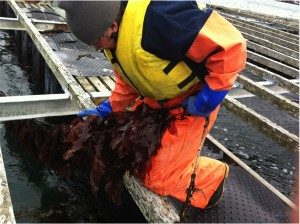 kelp harvest