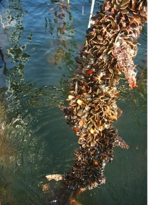 mussel line