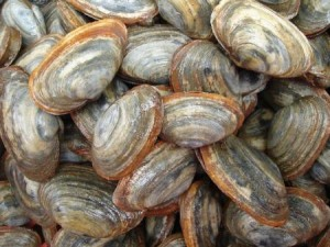 softshell clams