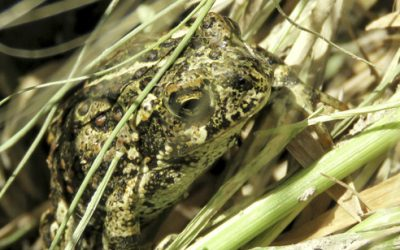 Paul Smith's College professor: Recently discovered toad endangered by construction project