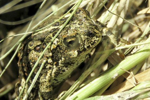 Dixie Valley toad