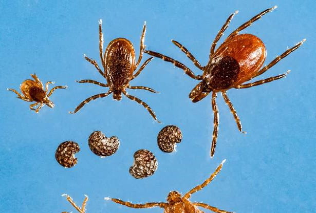 In the News: Tick-borne illness similar to COVID