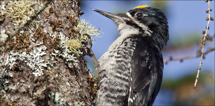 Black-backed Woodpecker (Picoides arcticus) - male by nest