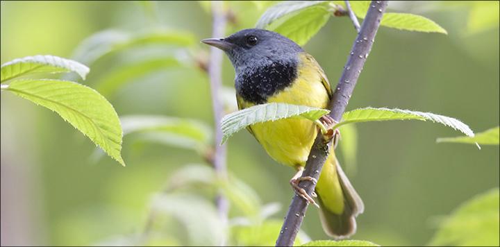 Mourning Warbler (Oporornis philadelphia) - male