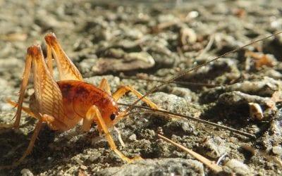 The Adirondack Naturalist: Crickets