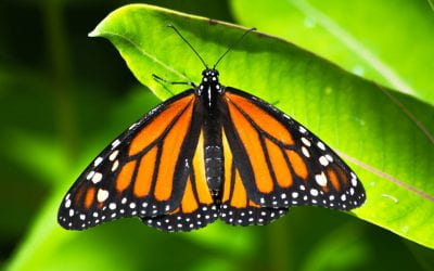 A VIC tagged Monarch Butterfly Found in Mexico