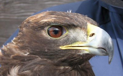 Golden Eagle Monitoring